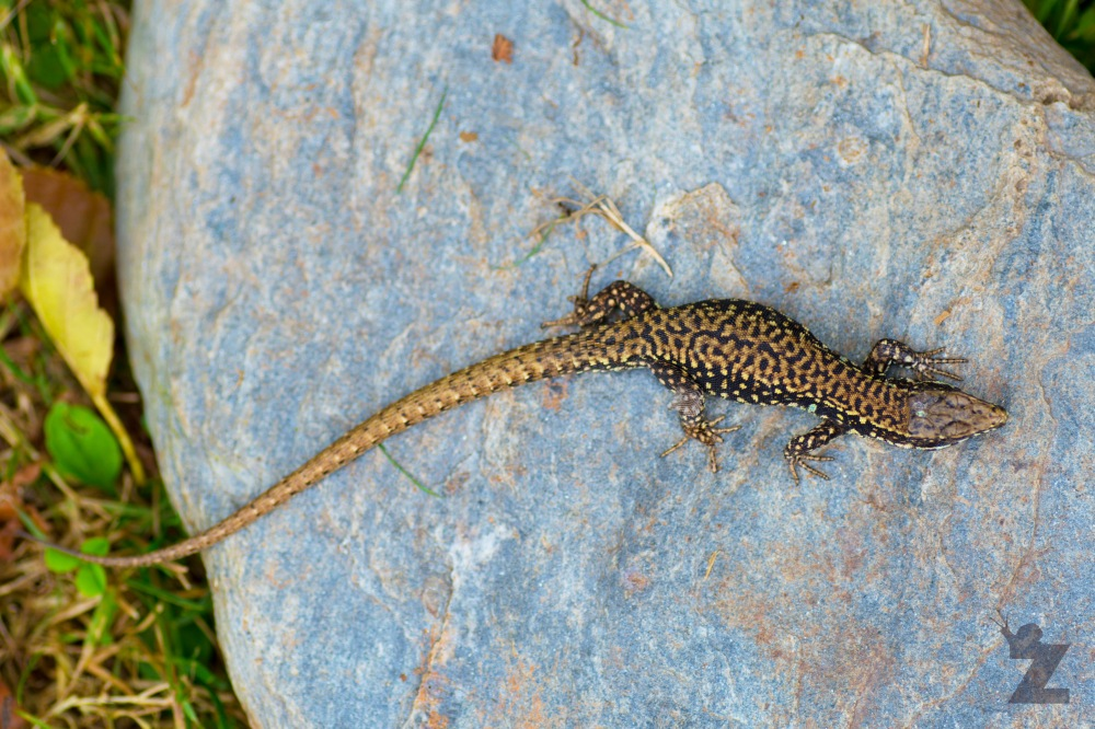 Podarcis muralis [EUROPEAN WALL LIZARD] Goizueta, Basque Country 28.07.2017 #5