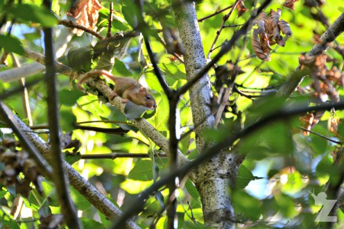 Muscardinus avellanarius [HAZEL DORMOUSE] England 2016-09-24 (1)