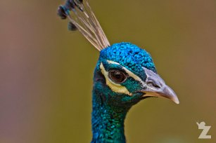 Pavo cristatus [♂ INDIAN PEAFOWL] Brownsea, England 12-09-2017