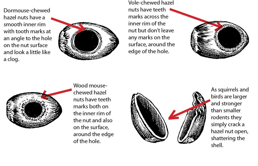 PTES Illustration of Chewed Nuts