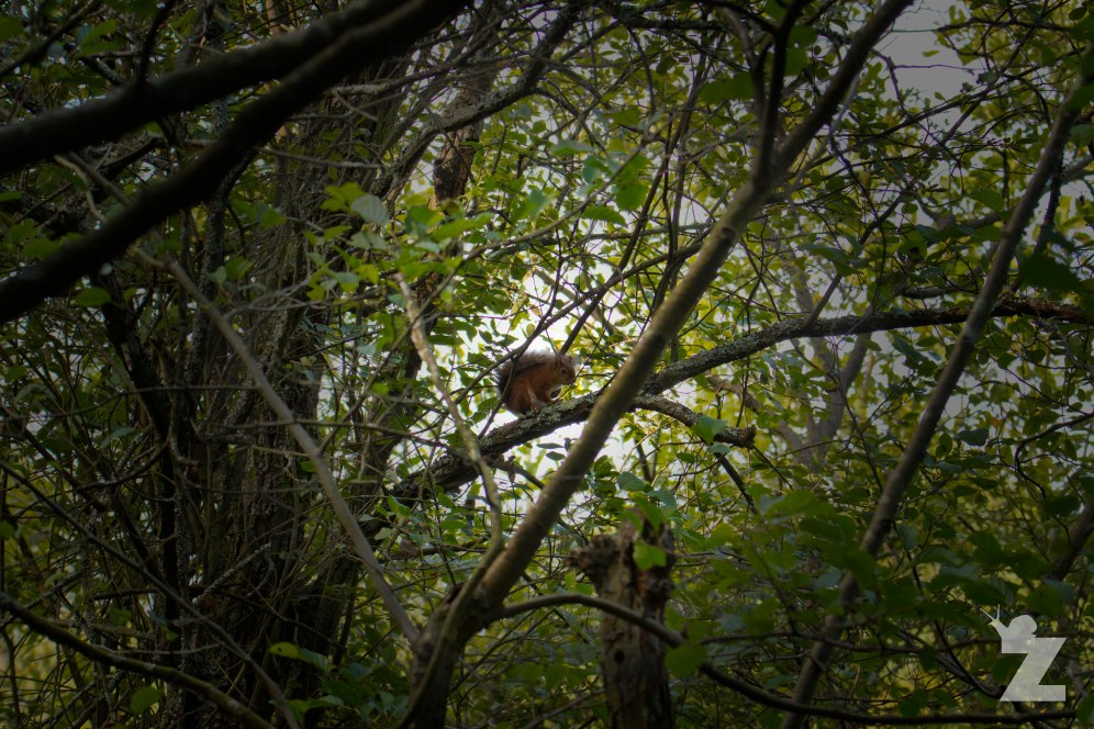 Sciurus vulgaris [RED SQUIRREL] Brownsea, England 12-09-2017 #1
