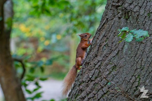 Sciurus vulgaris [RED SQUIRREL] Brownsea, England 12-09-2017 #10
