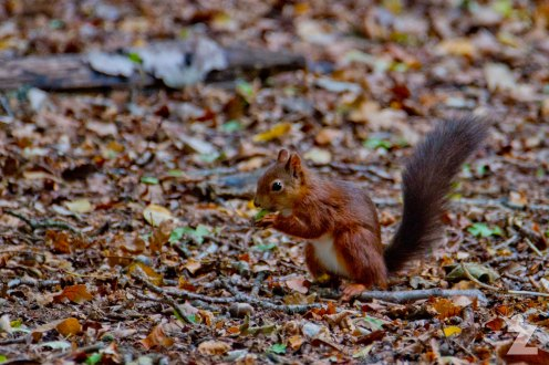 Sciurus vulgaris [RED SQUIRREL] Brownsea, England 12-09-2017 #11