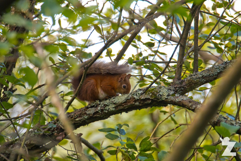 Sciurus vulgaris [RED SQUIRREL] Brownsea, England 12-09-2017 #2