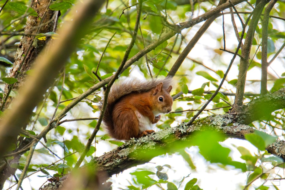 Sciurus vulgaris [RED SQUIRREL] Brownsea, England 12-09-2017 #3