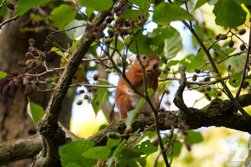 Sciurus vulgaris [RED SQUIRREL] Brownsea, England 12-09-2017 #4