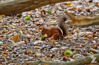 Sciurus vulgaris [RED SQUIRREL] Brownsea, England 12-09-2017 #6