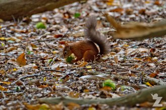 Sciurus vulgaris [RED SQUIRREL] Brownsea, England 12-09-2017 #7