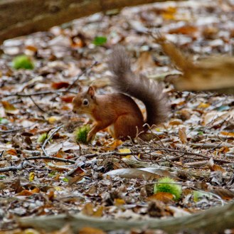 Sciurus vulgaris [RED SQUIRREL] Brownsea, England 12-09-2017 #8