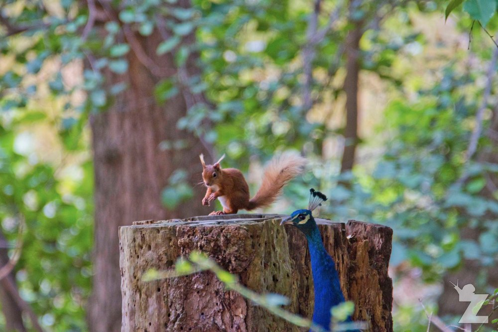 Sciurus vulgaris [RED SQUIRREL] Brownsea, England 12-09-2017 #9