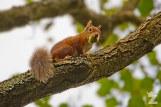Red Squirrels on Brownsea Island: https://zoomologyblog.wordpress.com/2017/09/19/red-squirrels-on-brownsea-island/