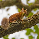 Red Squirrels on Brownsea Island: https://zoomologyblog.wordpress.com/2017/09/19/red-squirrels-on-brownsea-island/