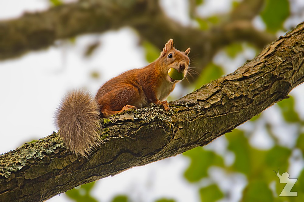 Sciurus vulgaris [RED SQUIRREL] Brownsea, England 12-09-2017