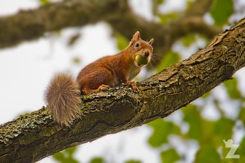 Sciurus vulgaris [RED SQUIRREL] Brownsea, England 12-09-2017