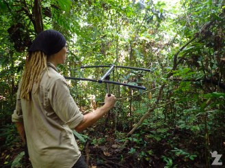 Tom tracking the second slow loris