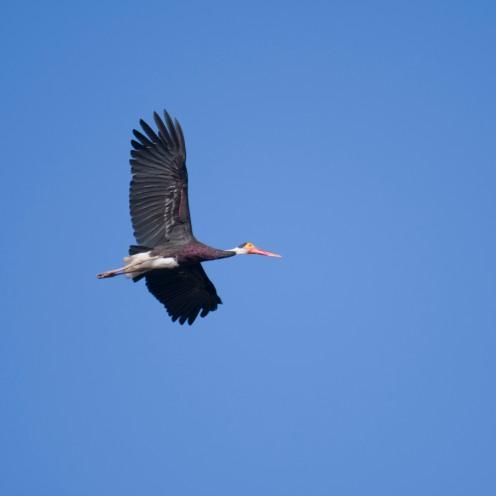 A rare storm stork