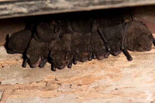 Bats roosting under the building