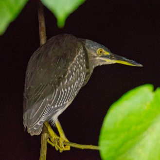 A night heron