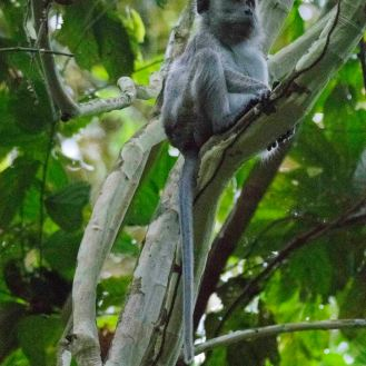 A long-tailed macaque