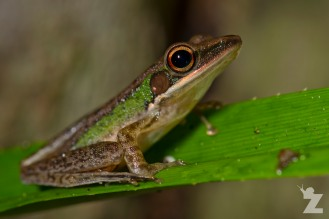 White-lipped tree frog (Rana chalconota)