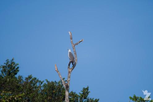 A white-bellied sea eagle