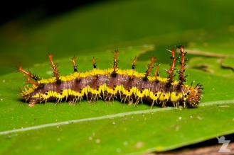 Another beautiful caterpillar
