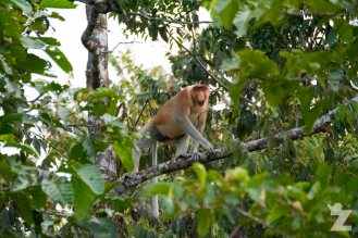 A male proboscis monkey