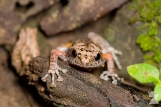 Bornean tree-hole frog (Metaphrynella sundana)