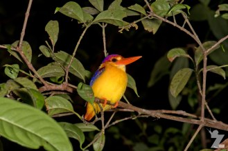 A kingfisher asleep in the tree