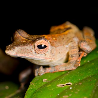 Collett's tree frog (Polypedates colletti)