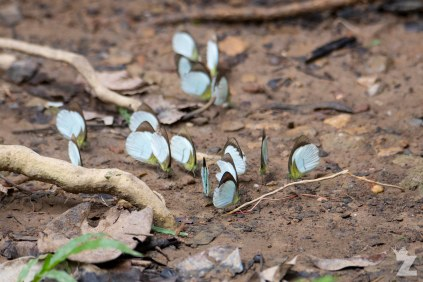Butterflies attracted a spot where an animal has urinated