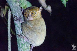 A tarsier!
