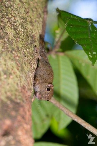 A pygmy squirrel