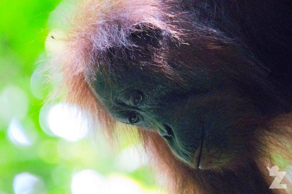 Pongo pygmaeus [BORNEAN ORANGUTAN] Sabah, Borneo 07-10-2017 (16).jpg