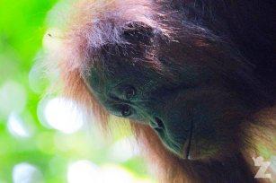 Pongo pygmaeus [BORNEAN ORANGUTAN] Sabah, Borneo 07-10-2017 (16)