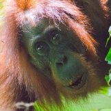 Orangutans of Borneo: Woken by the People of the Forest: https://zoomologyblog.wordpress.com/2017/10/21/orangutans-of-borneo-woken-by-the-people-of-the-forest/