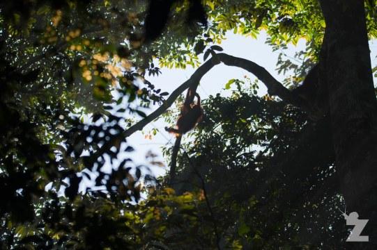 Pongo pygmaeus [BORNEAN ORANGUTAN] Sabah, Borneo 07-10-2017