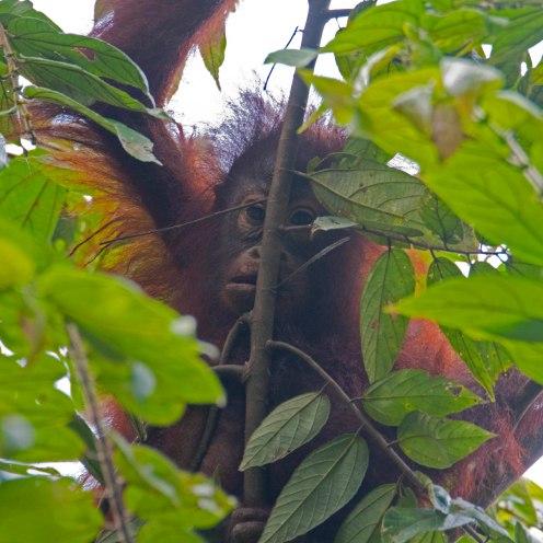 Pongo pygmaeus [BORNEAN ORANGUTAN] Sabah, Borneo 10-10-2017 (10)