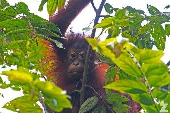 Pongo pygmaeus [BORNEAN ORANGUTAN] Sabah, Borneo 10-10-2017 (11)