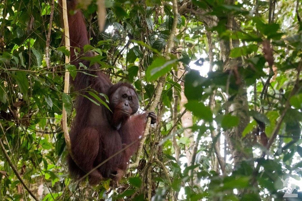 Pongo pygmaeus [BORNEAN ORANGUTAN] Sabah, Borneo 10-10-2017 (2)