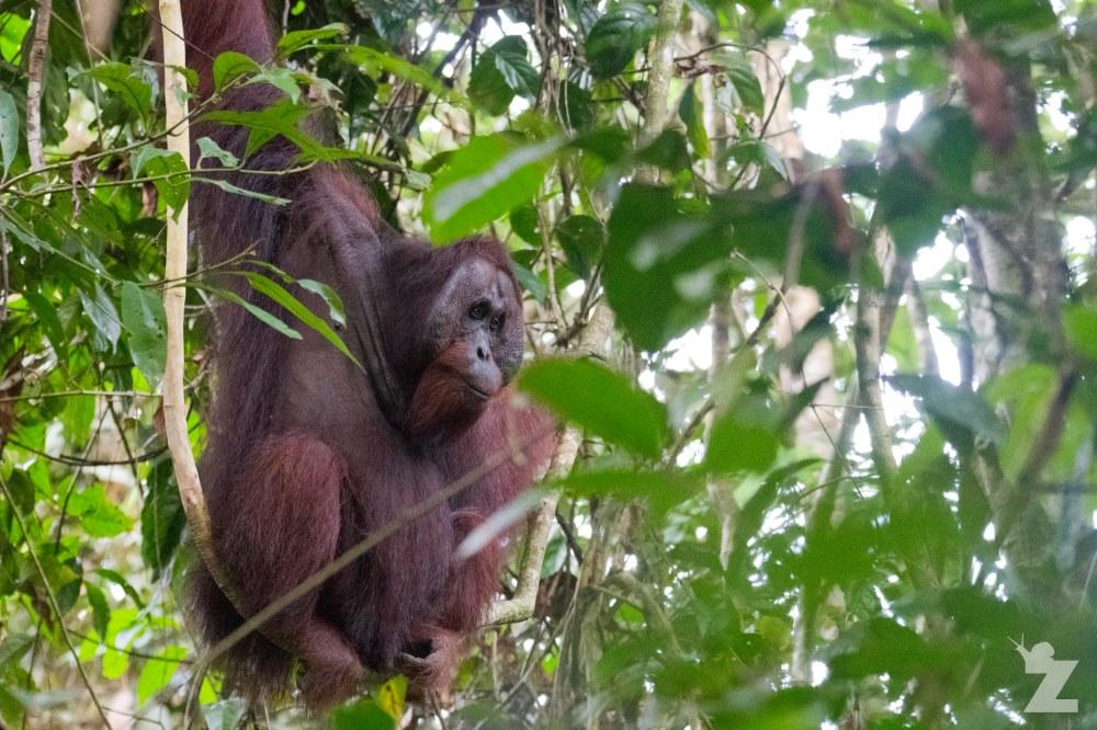 Pongo pygmaeus [BORNEAN ORANGUTAN] Sabah, Borneo 10-10-2017 (3)