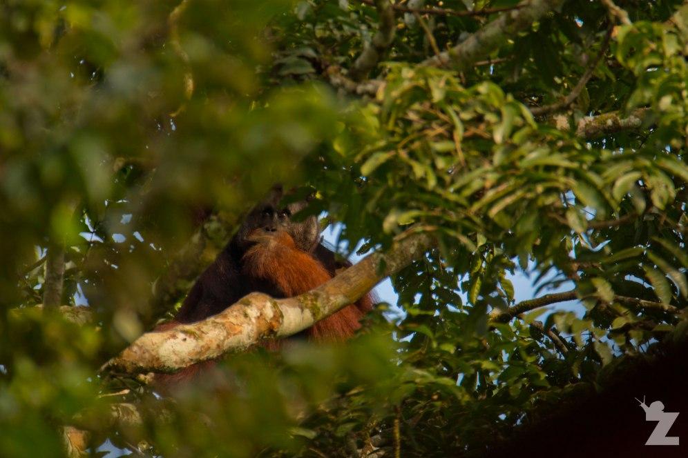 Pongo pygmaeus [BORNEAN ORANGUTAN] Sabah, Borneo 10-10-2017 (7)