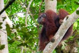 Orangutans of Borneo: An Encounter with a Flanged Male: https://zoomologyblog.wordpress.com/2017/10/28/orangutans-of-borneo-an-encounter-with-a-flanged-male/