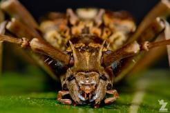 Blosyropus spinosus [SPINY LONG HORN BEETLE] Bushy Park, New Zealand 24-11-2017 (3)