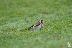 Carduelis carduelis [EUROPEAN GOLDFINCH ♂] Whanganui, New Zealand 11-11-2017