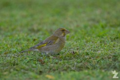 Carduelis chloris [EUROPEAN GREENFINCH ♀] Whanganui, New Zealand 11-11-2017