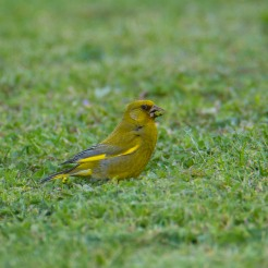 Carduelis chloris [EUROPEAN GREENFINCH ♂] Whanganui, New Zealand 11-11-2017