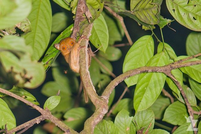 Cephalopachus bancanus [HORSFIELD'S TARSIER] Sabah, Borneo 10-2017
