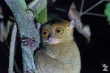 The Horsfield's Tarsier: The Only Species Found in Borneo & Sumatra: https://zoomologyblog.wordpress.com/2017/11/13/the-horsfields-tarsier-the-only-species-found-in-borneo-sumatra/