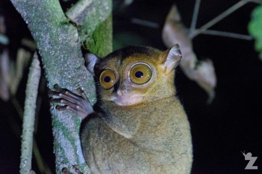 The Horsfield's Tarsier: The Only Species Found in Borneo & Sumatra: https://zoomologyblog.wordpress.com/2017/11/13/the-horsfields-tarsier-the-only-species-found-in-borneo-sumatra/